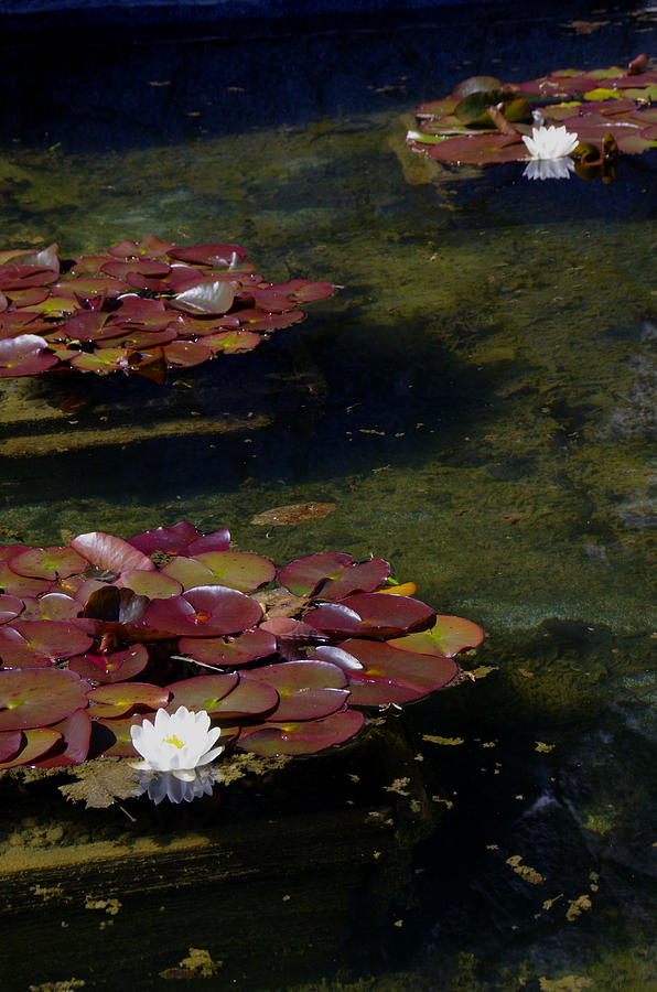 Water Lilies Photograph - Memories Of Monet by Marilyn Wilson