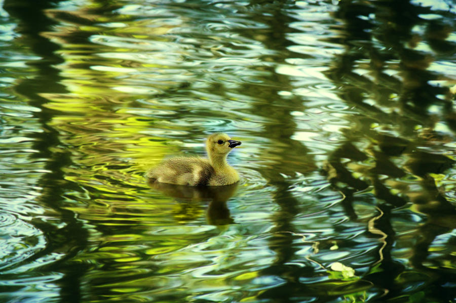Gosling Photograph - Memories Of Spring by Melanie Lankford Photography