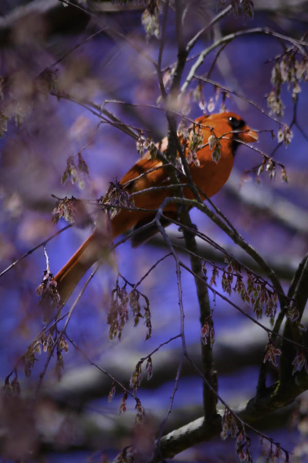 Cardinal Photograph - Memphis Red Bird by Barry Jones