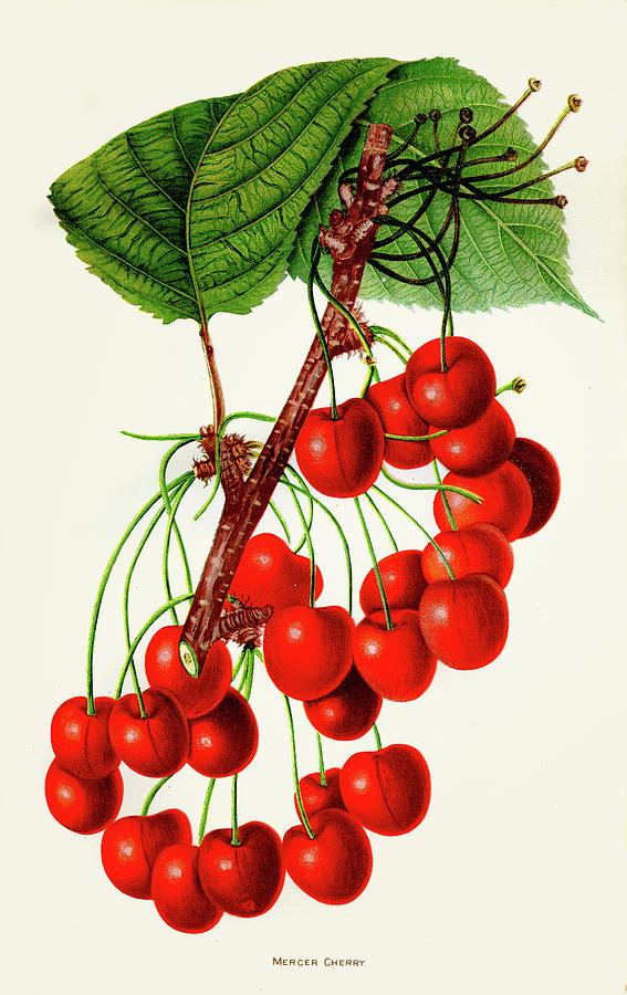 Mercer Cherry Illustration 1892 Digital Art by Thepalmer