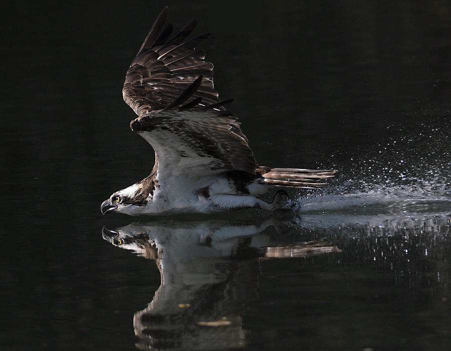 Osprey Photograph - Merciless by Kenneth Haley