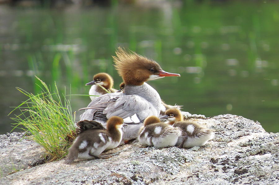 Acadia Photograph - Merganser With Chicks by Acadia Photography