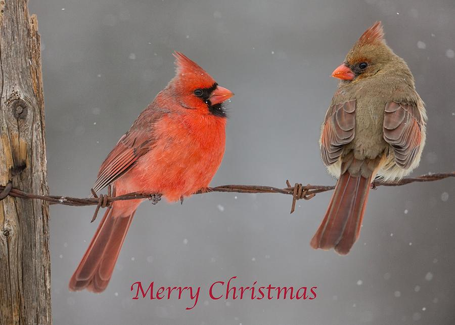 Merry Christmas Cardinals by Dale J Martin