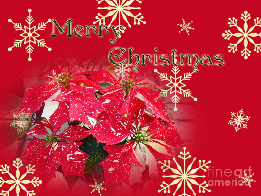 Merry Christmas Greeting Card - Poinsettia Photograph by Mother Nature
