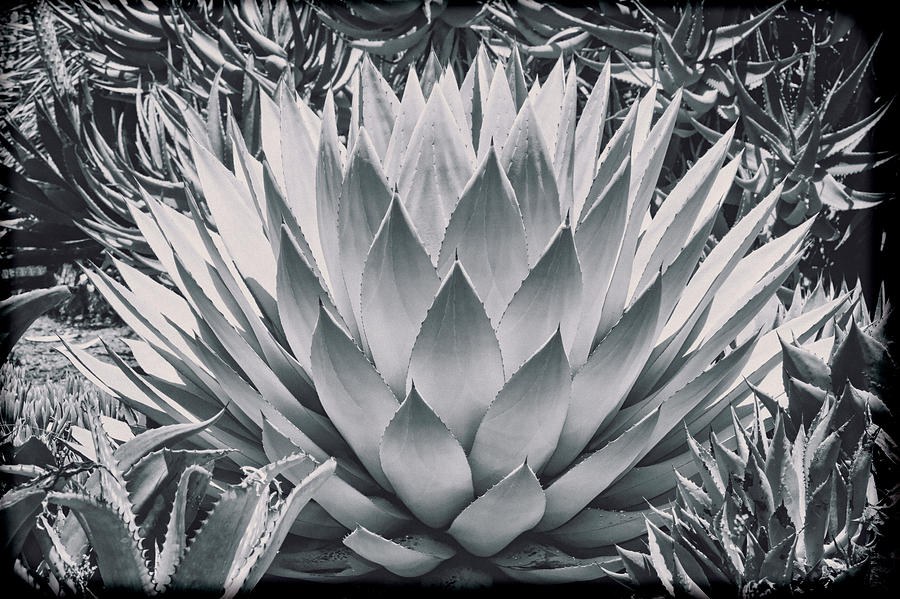 Cactus Photograph - Mescal Agave by Kelley King