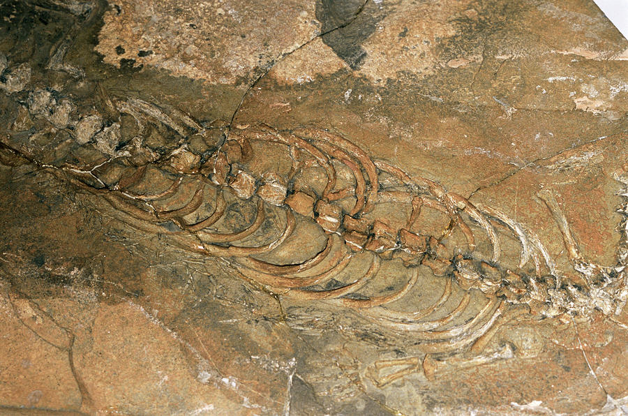 Mesosaurus Fossil Photograph by Sinclair Stammers/science ...