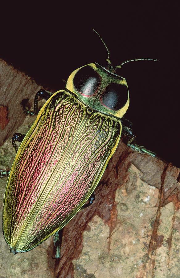 Metallic Wood-boring Beetle Panama Photograph by Mark Moffett