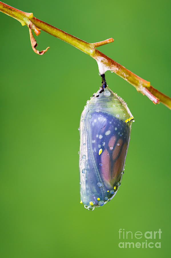 Monarch Butterfly Chrysalis Photograph - Metamorphosis by Dawna  Moore Photography