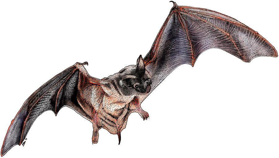 Illustration Photograph - Mexican Free-tailed Bat by Roger Hall
