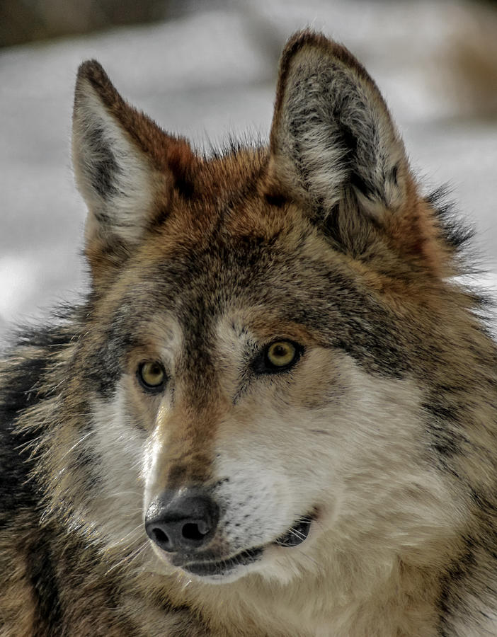Wolf Photograph - Mexican Grey Wolf Upclose by Ernie Echols