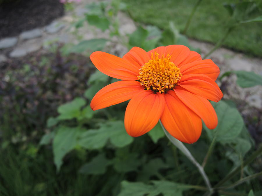 Mexican Sunflower Photograph - Mexican Sunflower by Chrissey Dittus