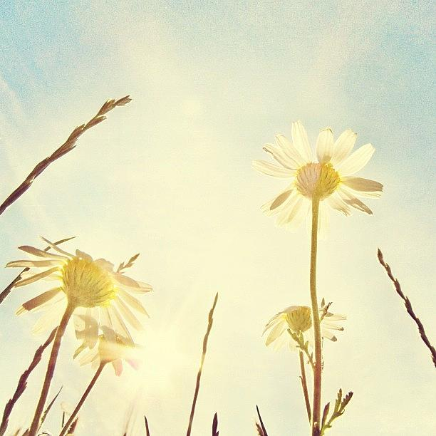 Summer Photograph - #mgmarts #daisy #all_shots #dreamy by Marianna Mills