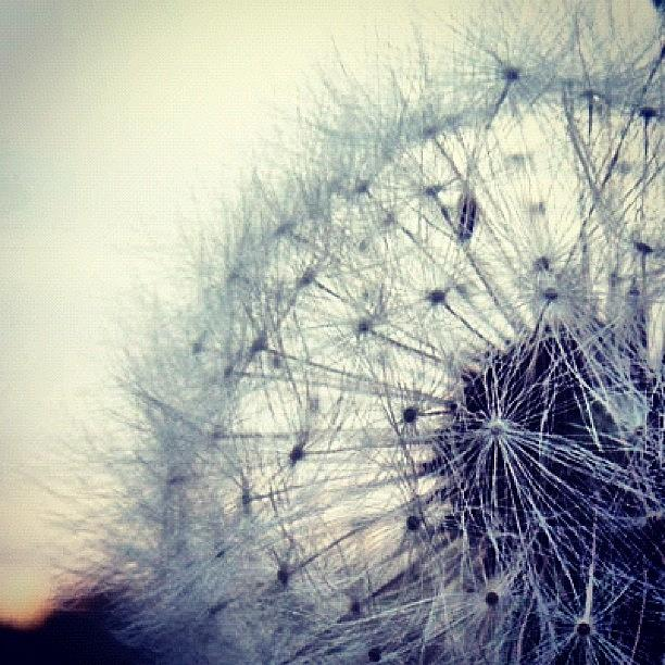 Life Photograph - #mgmarts #dandelion #love #micro by Marianna Mills