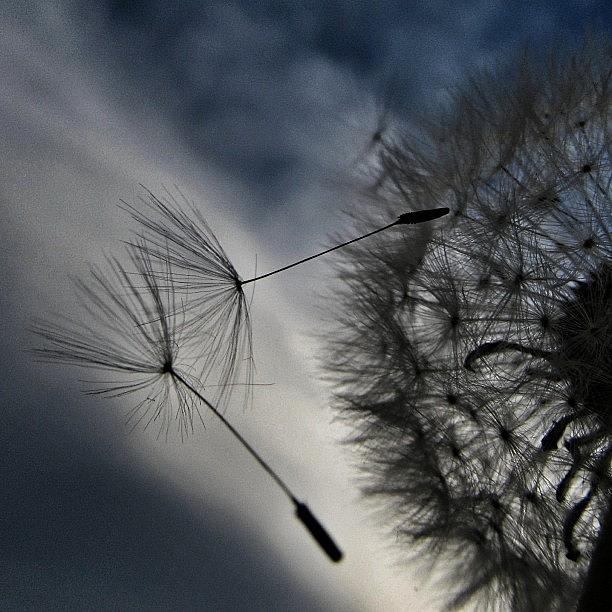 Dandelion Photograph - #mgmarts #dandelion #makeawish #wish by Marianna Mills