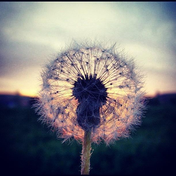 Countryside Photograph - #mgmarts #dandelion #sunset #simple by Marianna Mills