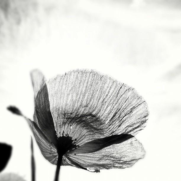 Summer Photograph - #mgmarts #poppy #summer #spring #sunny by Marianna Mills