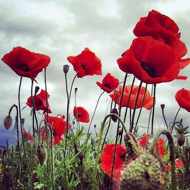 Life Photograph - #mgmarts #poppy #weed #flower #spring by Marianna Mills