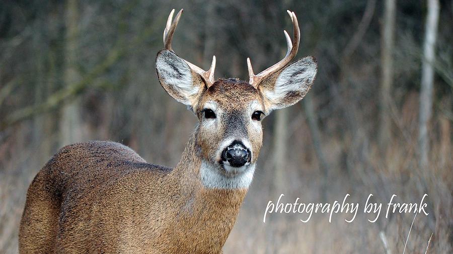 Deer Photograph - Michigan 8 Pointer by Frank Sciberras
