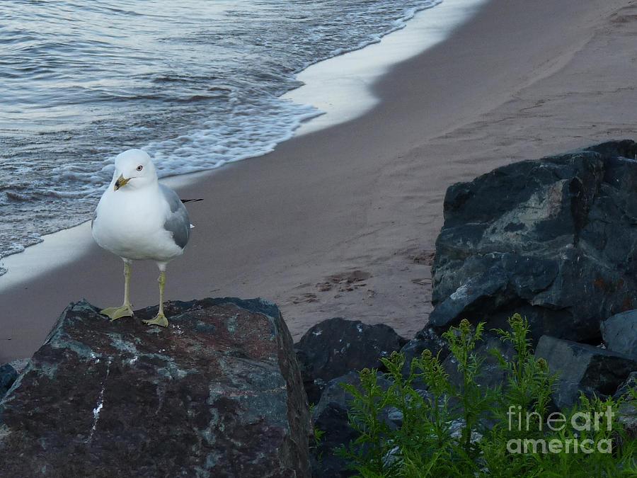 Michigan Gull On Rock Photograph