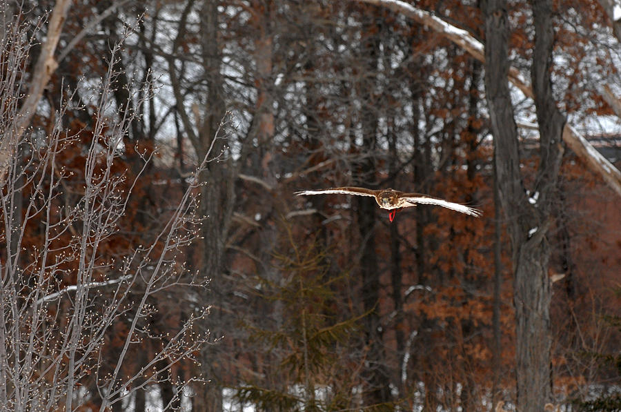 Falconry Photograph - Michigan Redtail Hawk by Wesley Elsberry
