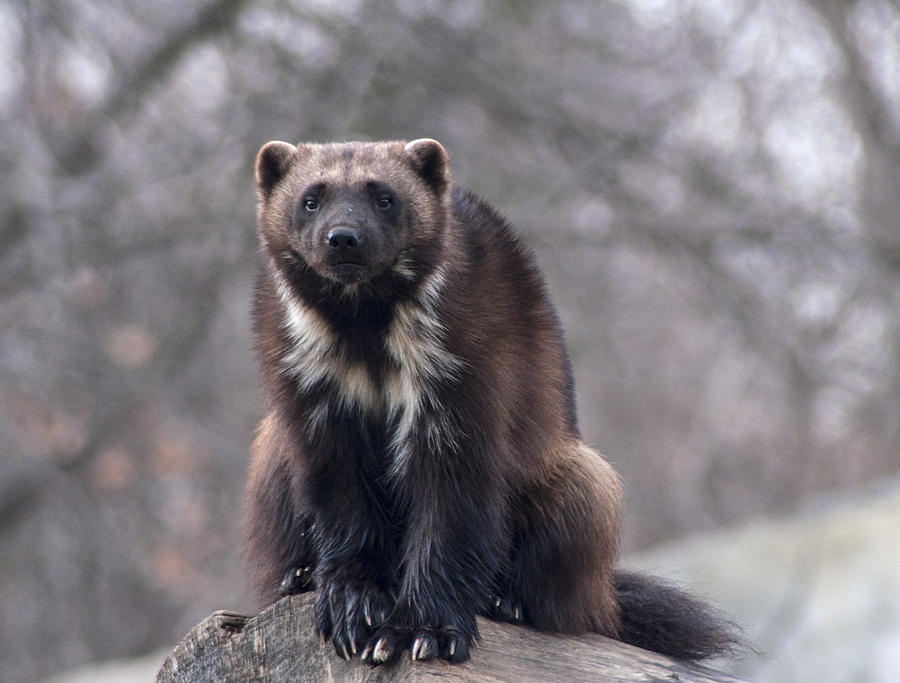 Michigan Wolverine Photograph By Ginger Harris