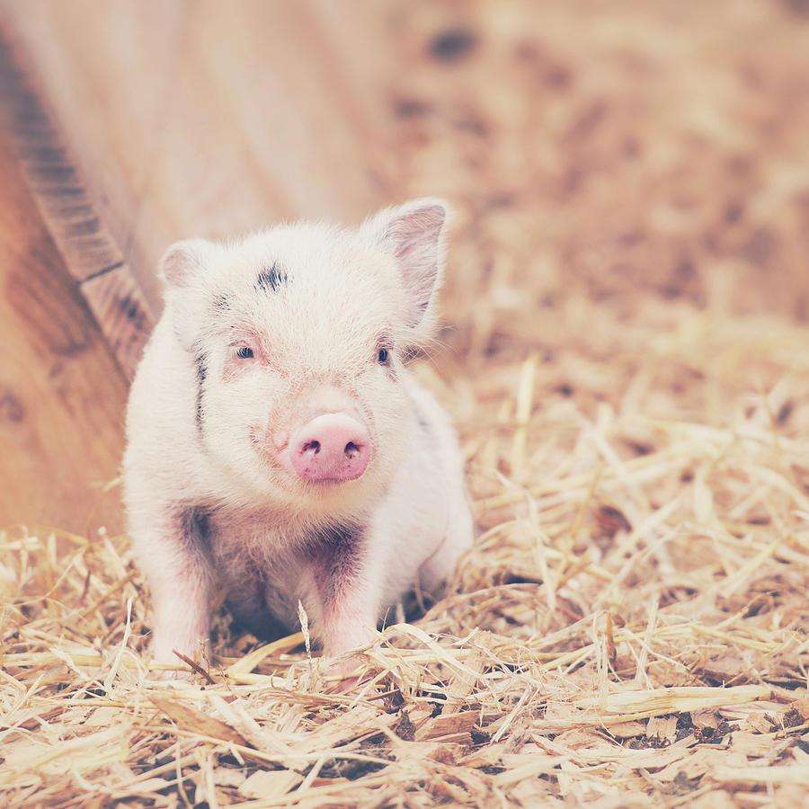 Micro Pig Photograph by Samantha Nicol Art Photography