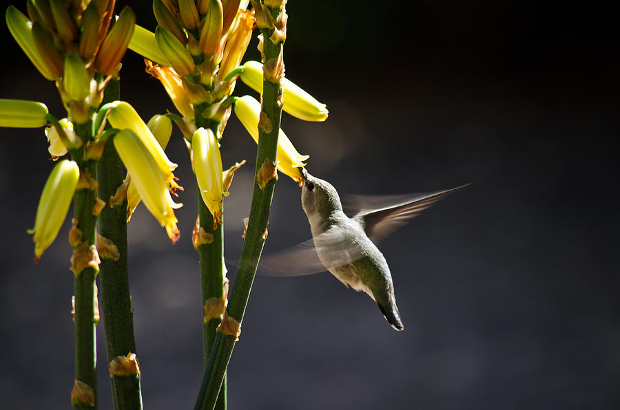 Hummingbird Photograph - Midday Snack by Swift Family