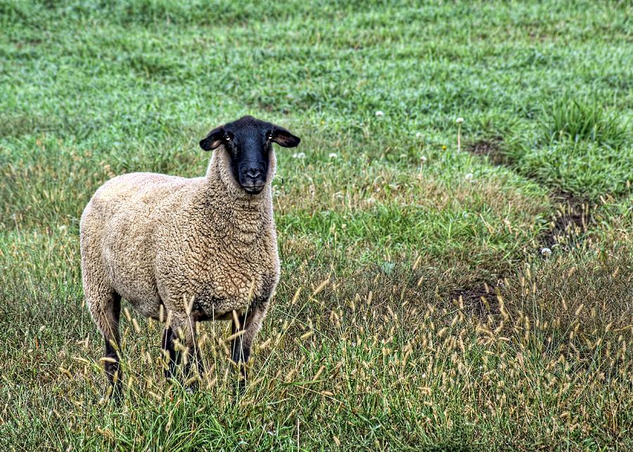 Black Faced Sheep Photograph - Middle Child - Blackfaced Sheep by Nikolyn McDonald