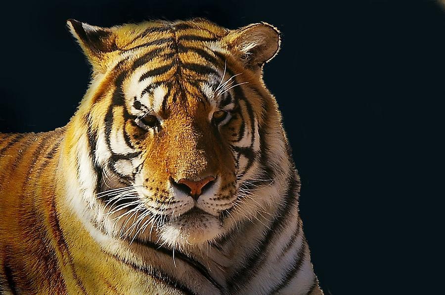 Bengal Tiger Photograph - Midnight Catnap by JAXINE Cummins