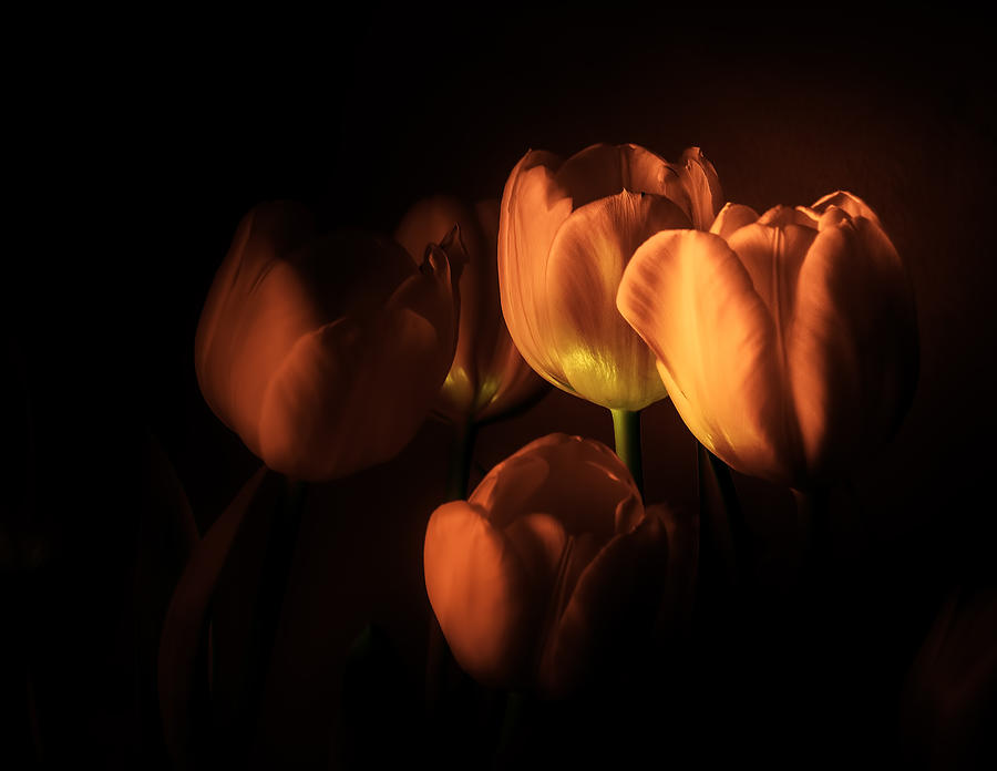 Macro Photograph - Midnight Tulips by Julie Palencia