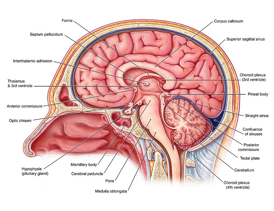 Midsagittal Brain, Illustration Photograph by Evan Oto