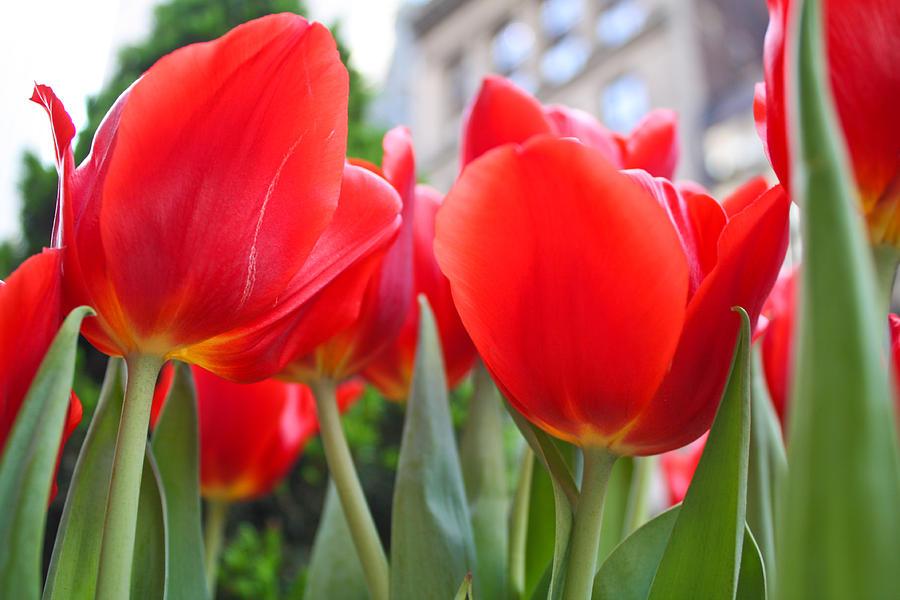 Tulips Photograph - Midtown Tulips by Zev Steinhardt