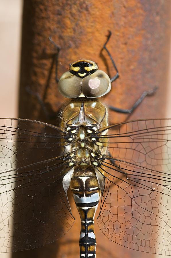 Migrant Hawker Dragonfly Closeup Photograph