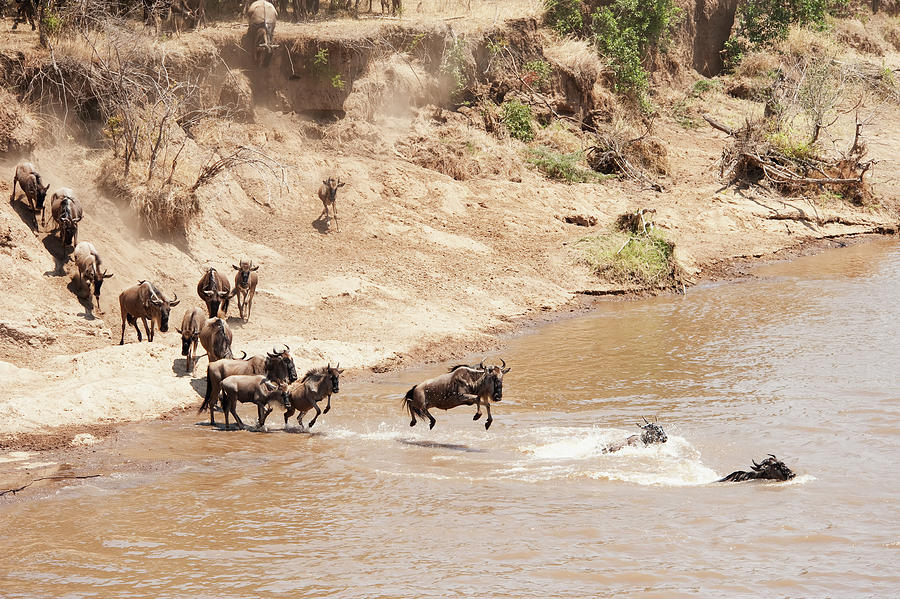 Migration Of The Wildebeest In The Photograph by Diane Levit / Design Pics