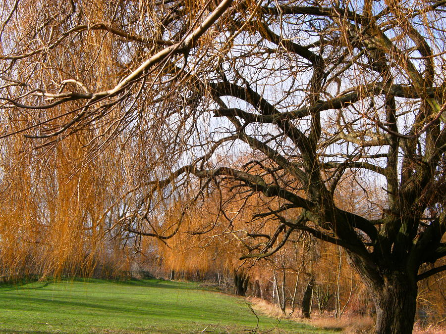 Willow Trees Photograph - Mild winter in Mayesbrook Park - Dagenham by Mudiama Kammoh