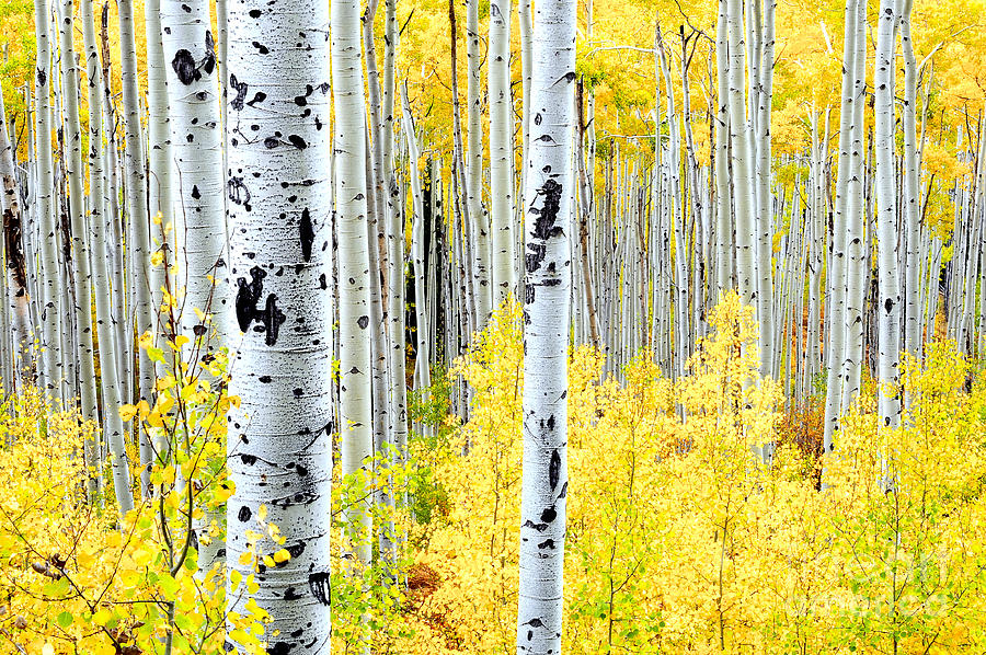 Aspen Trees Photograph - Miles Of Gold by The Forests Edge Photography - Diane Sandoval
