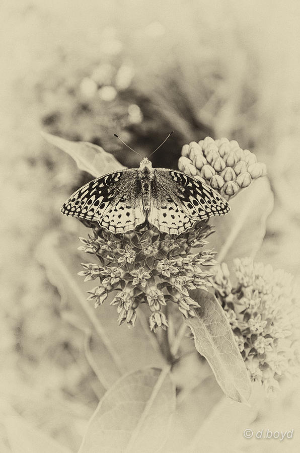 Butterfly Photograph - Milkweed And Butterfly by Diana Boyd