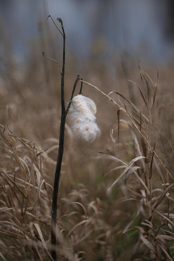 Milkweed Photograph - Milkweed by Brady D Hebert