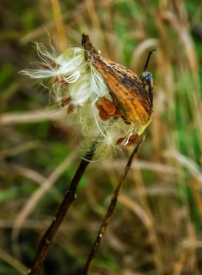 Steve Harrington Photograph - Milkweed Pod by Steve Harrington