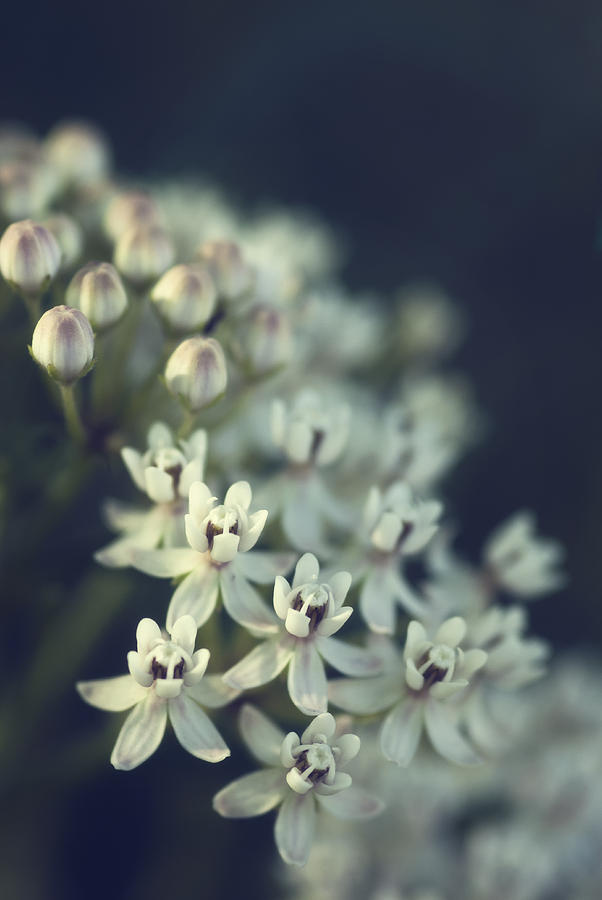 Milkweed Flowers Photograph - Milkweed  by Saija  Lehtonen