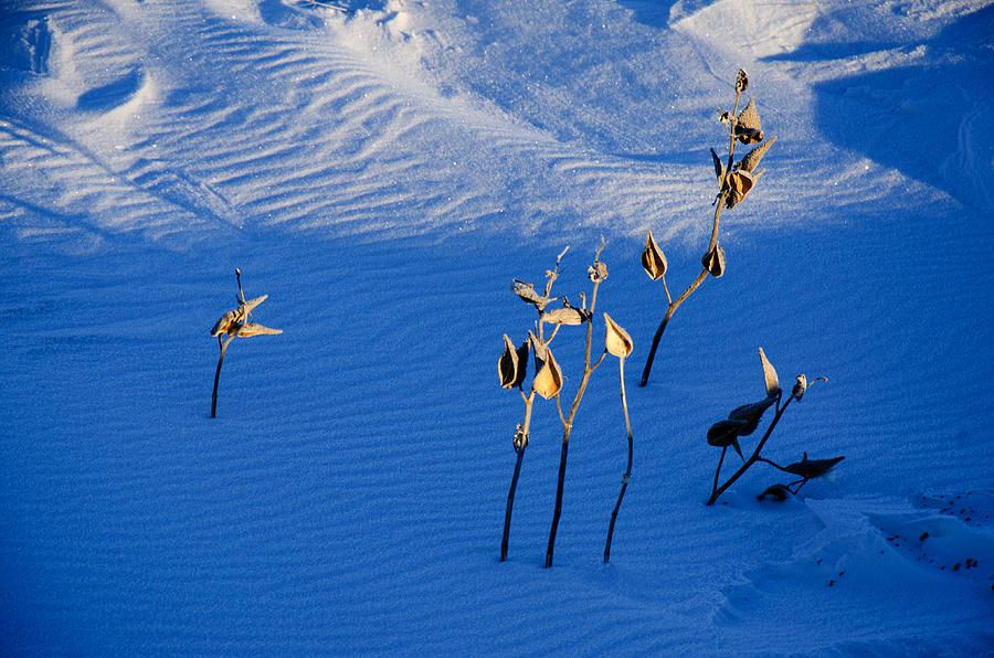 Milkweeds In The Snow Photograph by Dan  Meylor