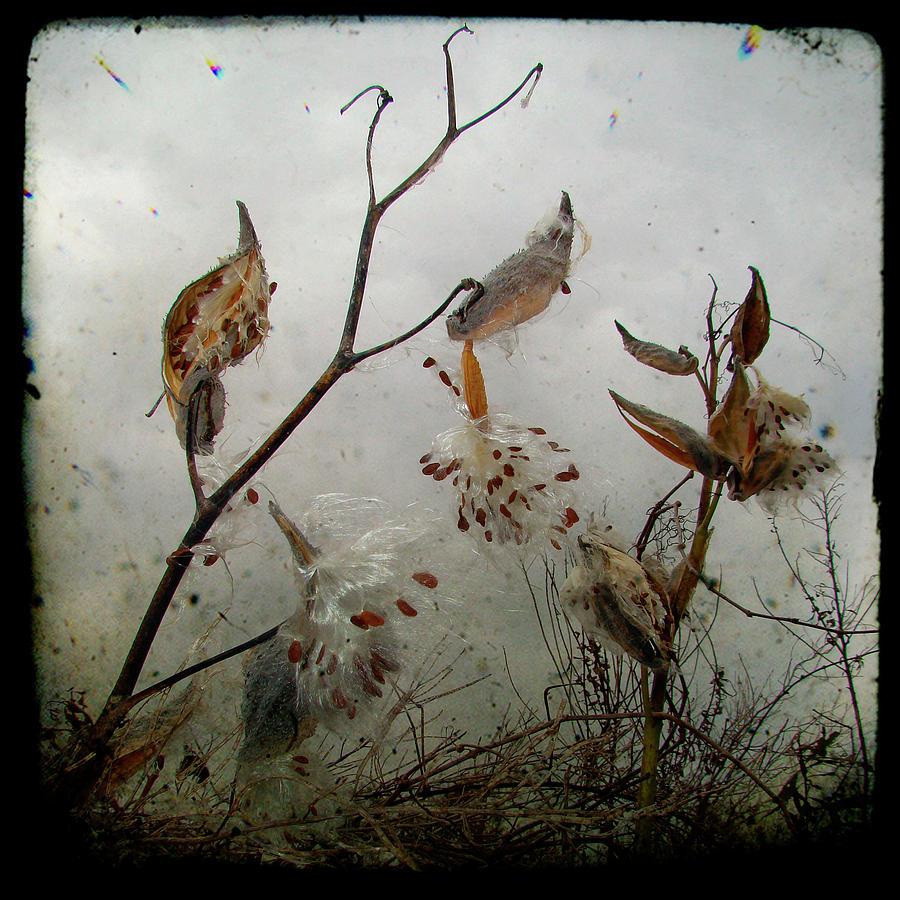 Milkweed Photograph - Milky Milkweed by Gothicrow Images