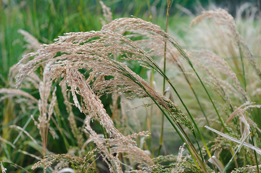 Millet, Panicum Miliaceum Photograph by Antema