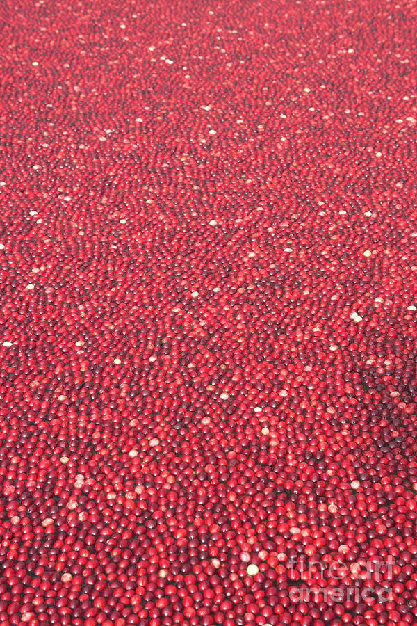 Cranberries Photograph - Millions Of Cranberries  by Linda Matlow