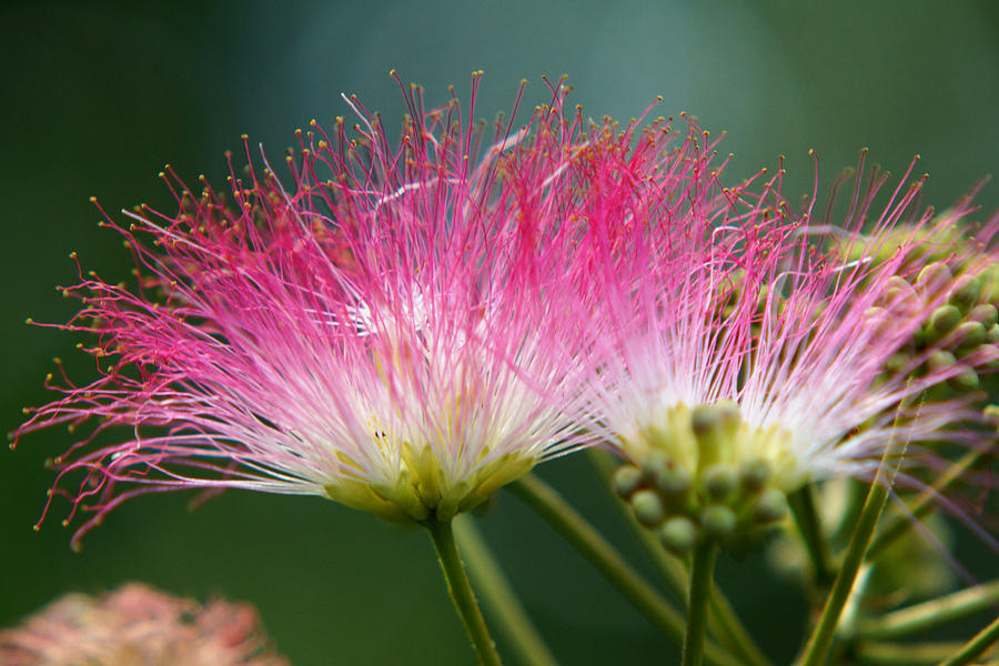 South Photograph - Mimosa by Kim Pate
