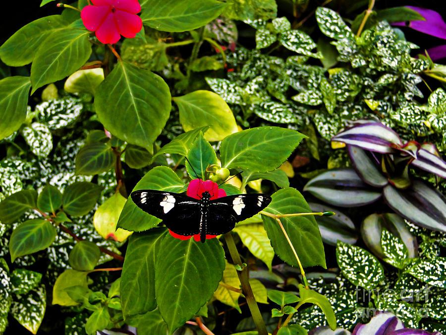 Butterfly Photograph - Mindo Butterfly At Rest by Al Bourassa