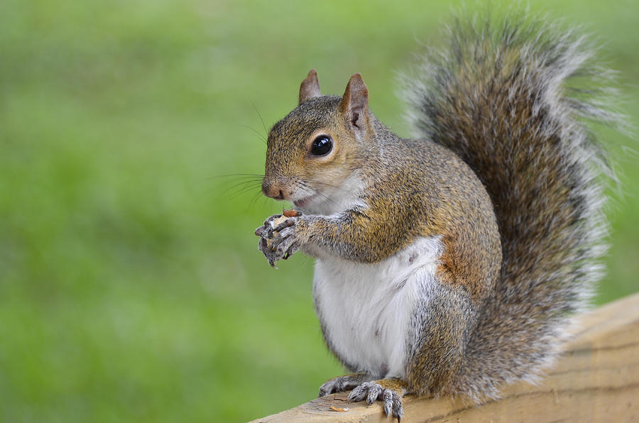 Squirrel Photograph - Mine by Carolyn Marshall