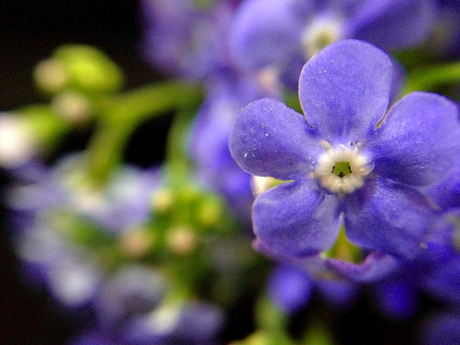 Blue Flower Photograph - Miniature Muse by Susan Maxwell Schmidt