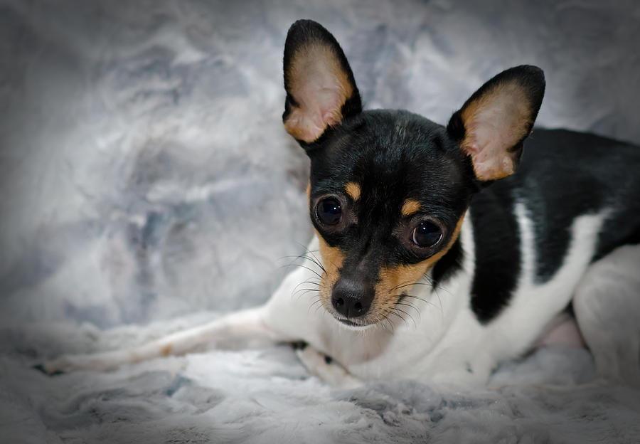 teacup rat terrier miniature rat terrier photograph by lisa moore 7022