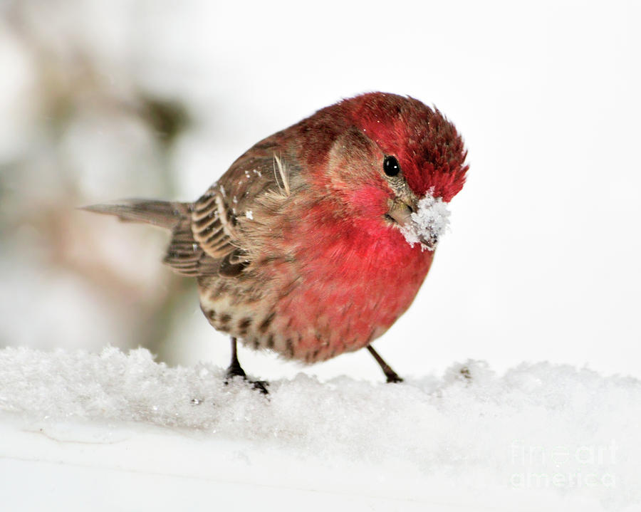 House Finch Photograph - Mining For Food by Betty LaRue